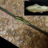 アンティーク帯留 磁器製 鮎 涼やかな双魚姿 在銘 s-481